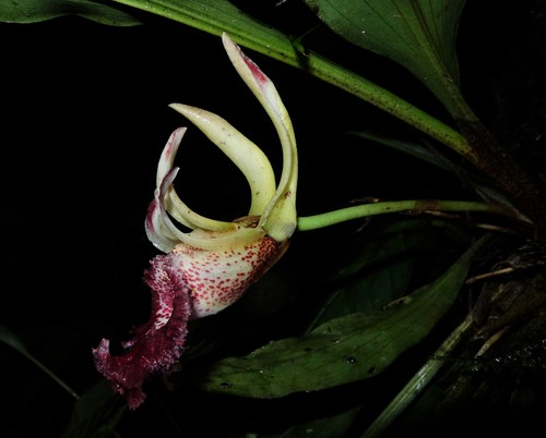 Euryblema with dark red and cream petals blossom in Ecuador