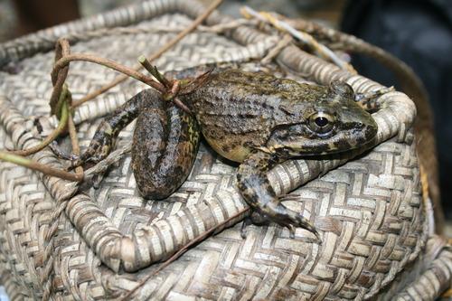 Giant Philippine Frog Limnonectes Magnus 183 Inaturalist Org