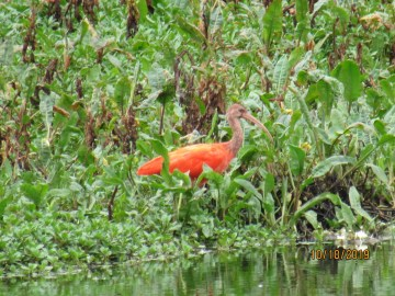 Ibis escarlata humedal Tibabuyes