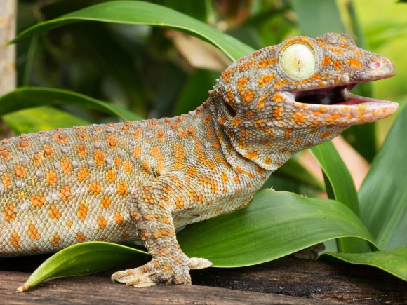 A tokay gecko, one of many reptile species popular as pets in the UK