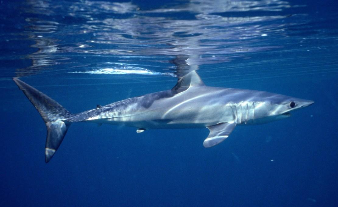 A shortfin mako shark swimming in the ocean