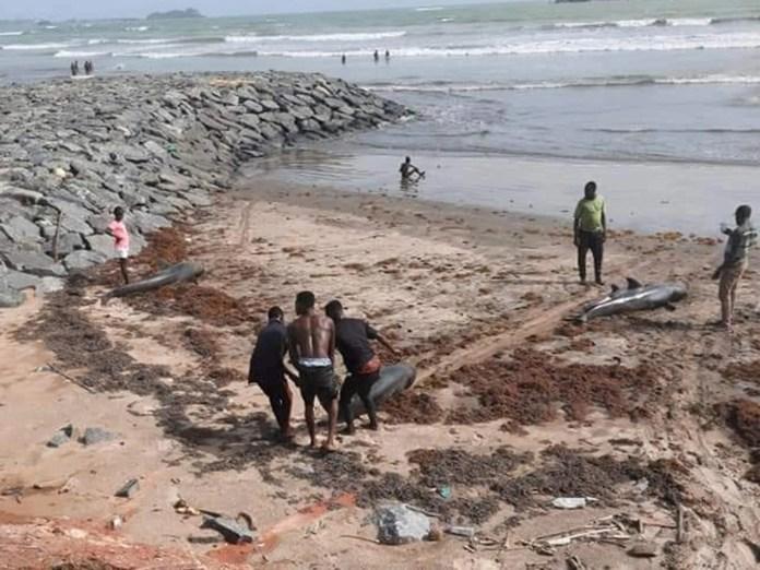 A dolphin carcass is dragged along the beach at Axim
