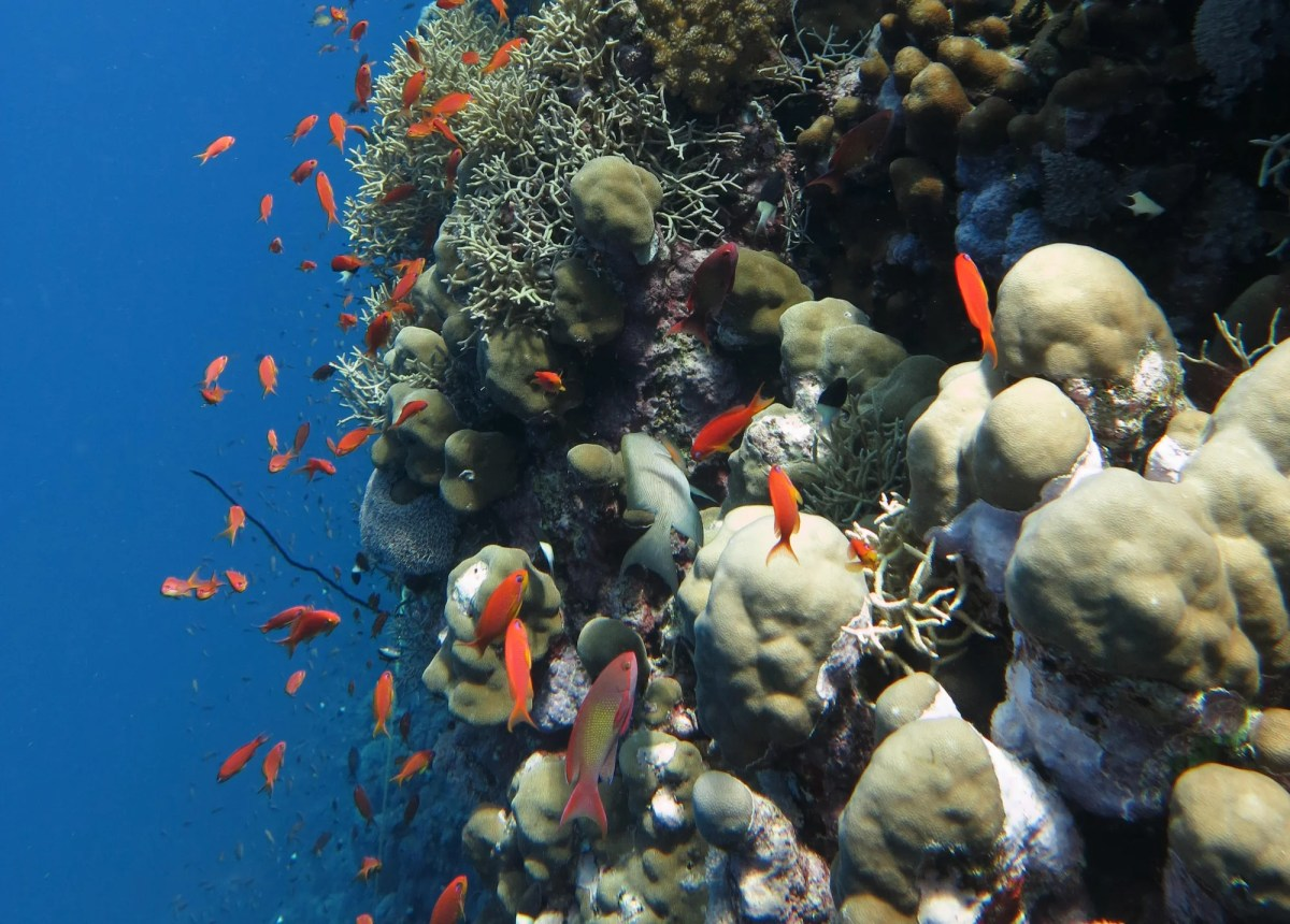 <p>Red sea corals provide breeding and feeding grounds, but they are suffering from the effects of climate change</p>