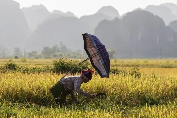rice-paddy-new.jpg