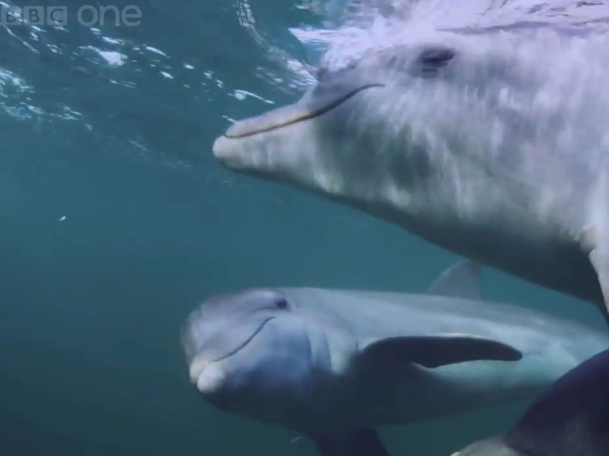 Dolphins Deliberately Get High On Puffer Fish Nerve Toxins By Carefully Chewing And Passing