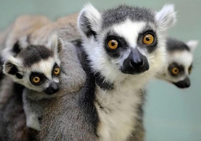 Ring tailed lemur endangered