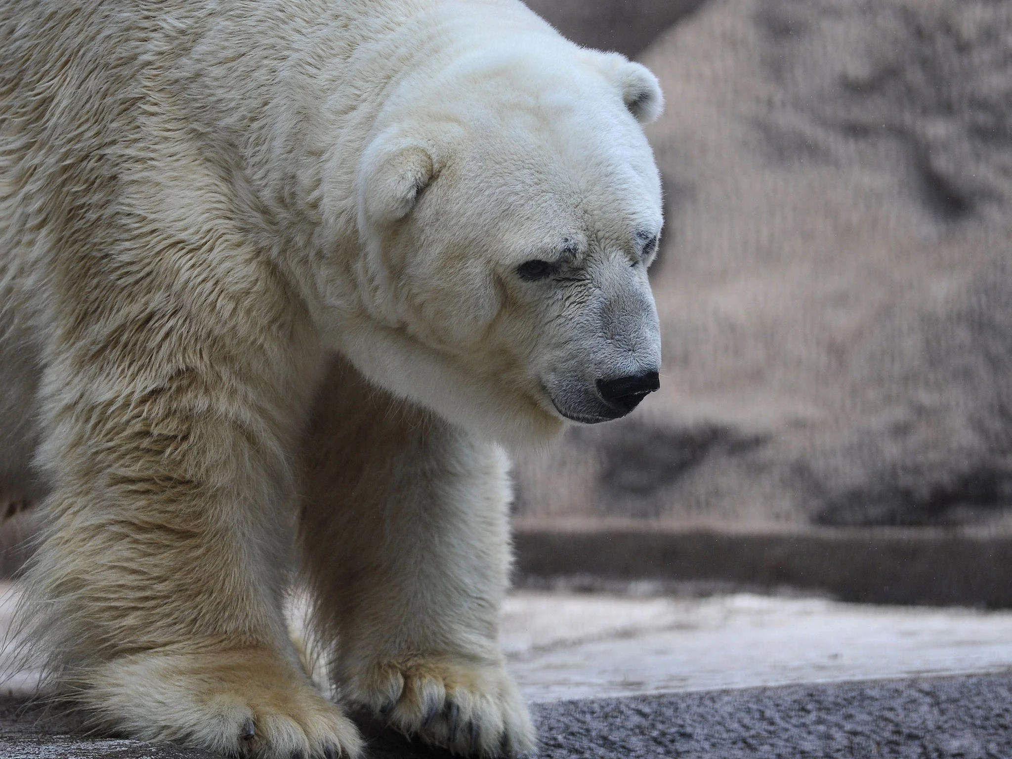 Image of: Animal Cruelty Arturos Home At Mendoza Zoo The Independent Petition To Save Arturo The worlds Saddest Animal