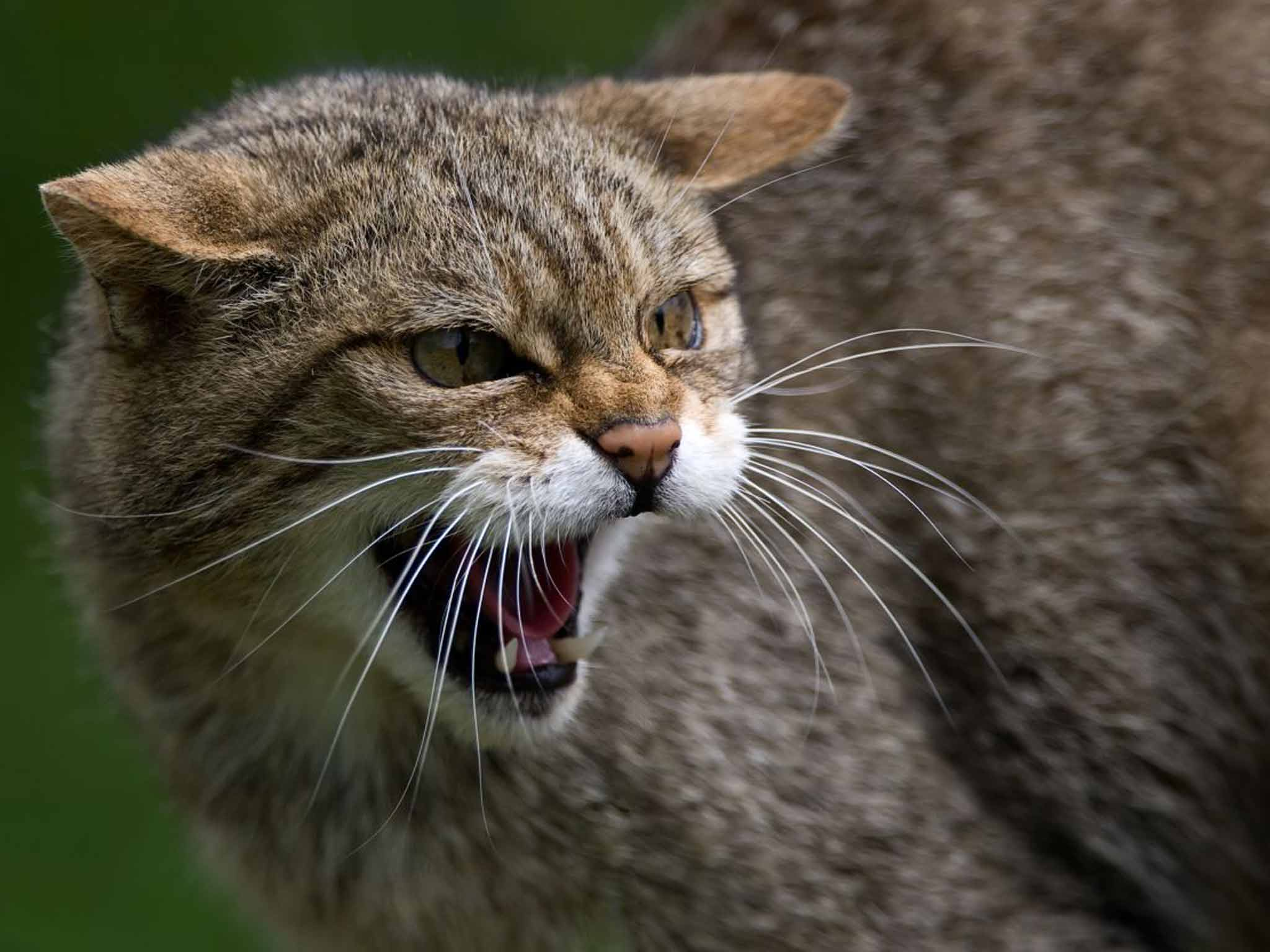 On The Trail Of Wildcats In The West Of Scotland The