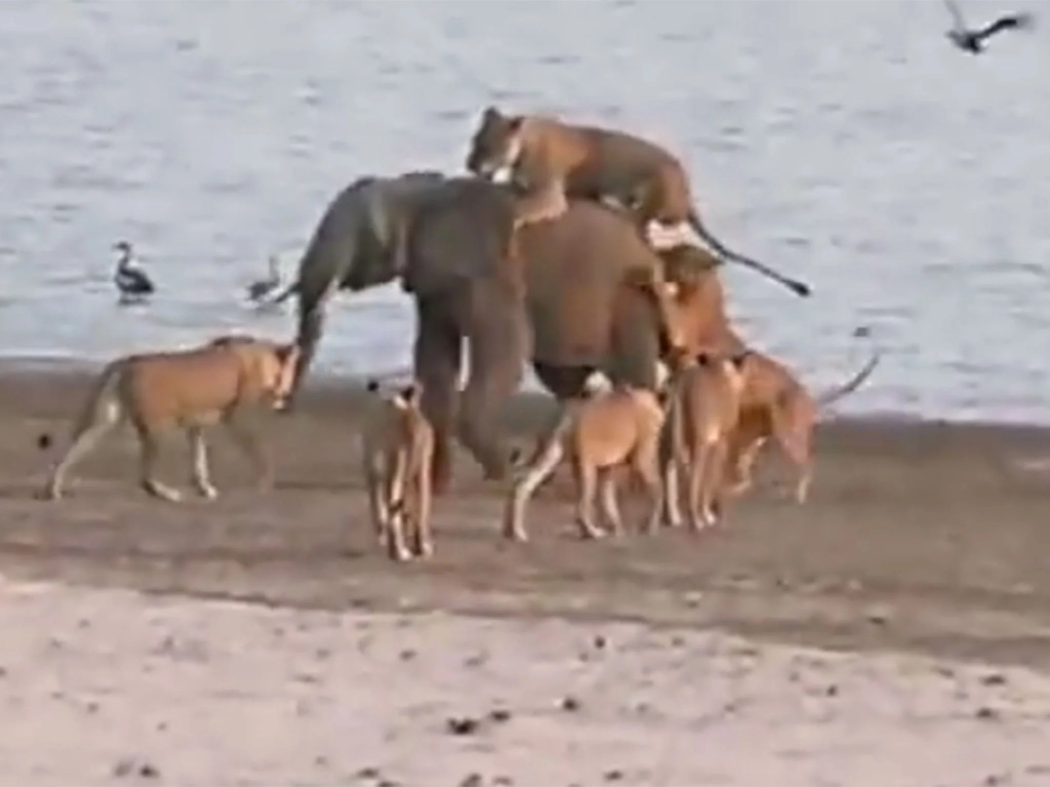 watch a young elephant fight off 14 lions | the independent