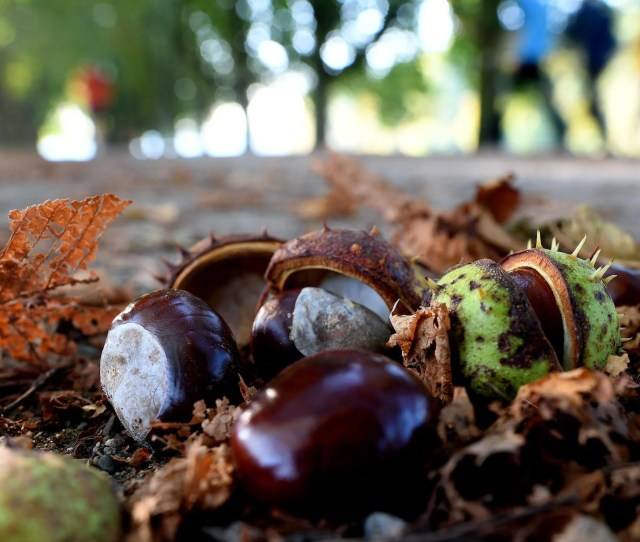 Chestnuts Lay At The Wayside In Cologne Western Germany On September