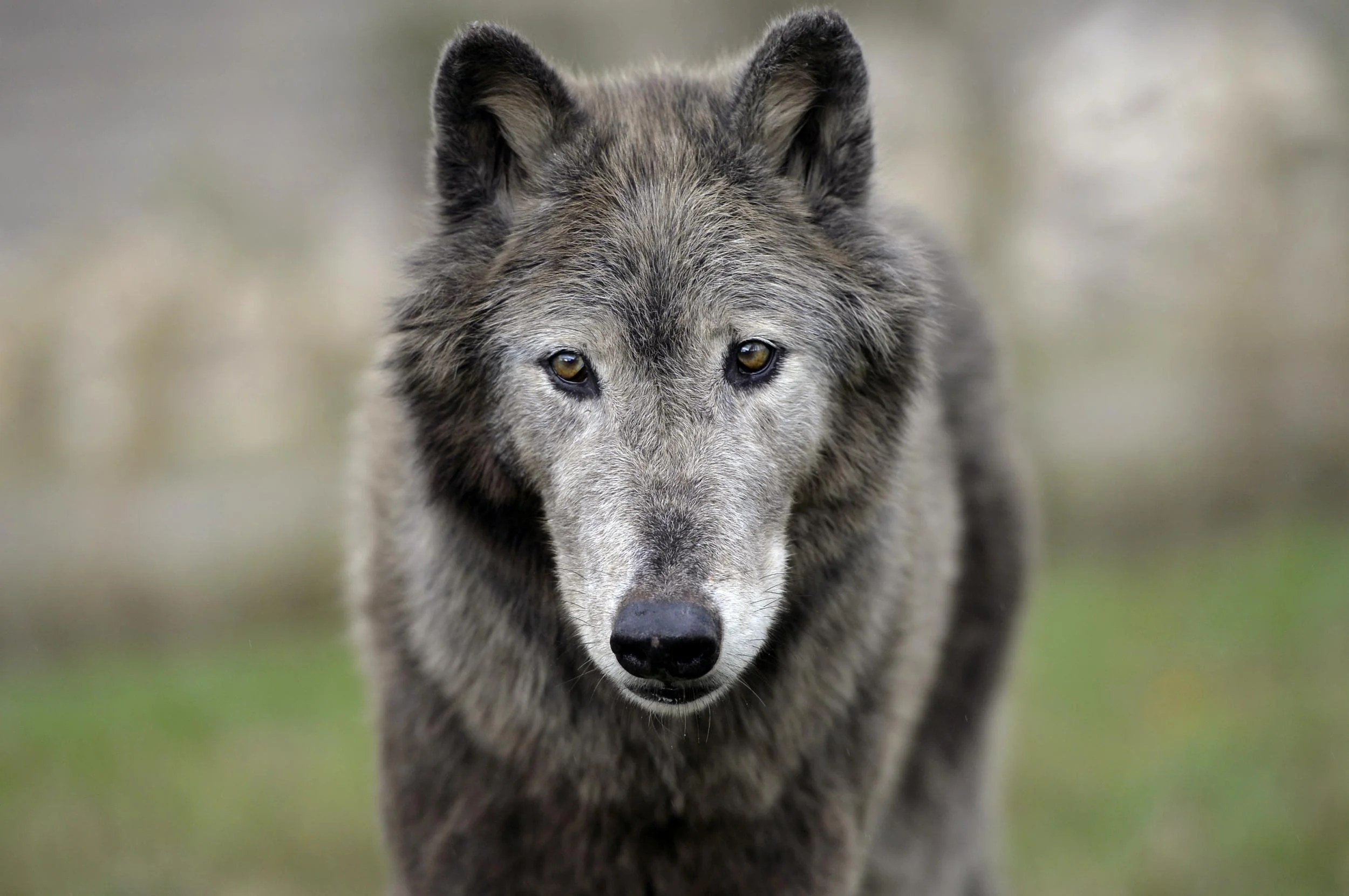 Tracking France S Most Controversial Animal The Wolf