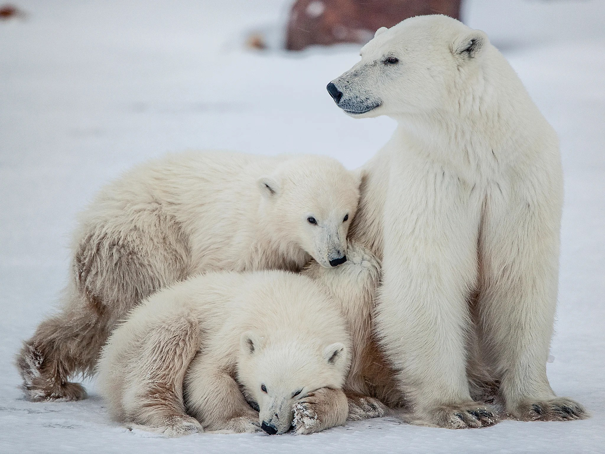 Polar Bear Numbers To Plummet By A Third In Next 40 Years