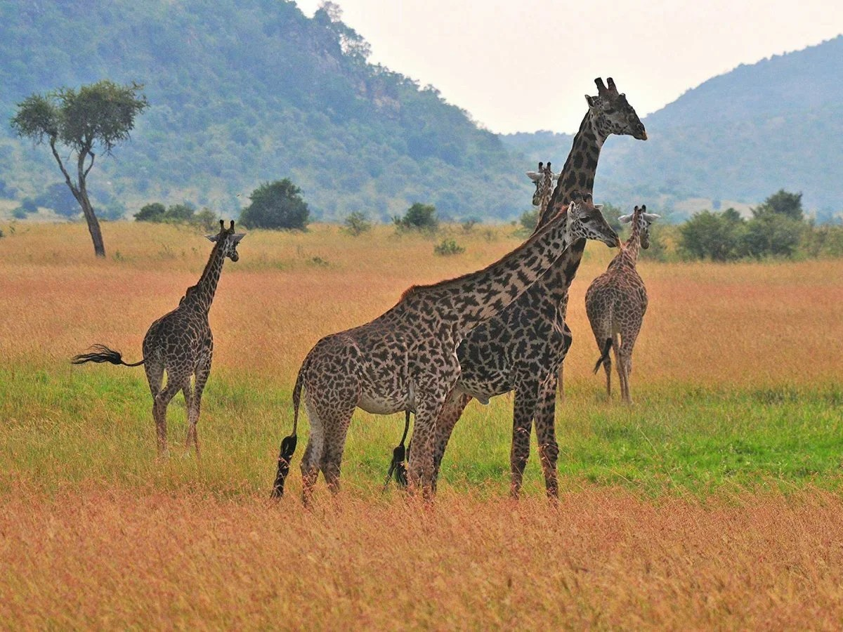 Chimpanzees Leopards And Giraffes Among 34 Species To