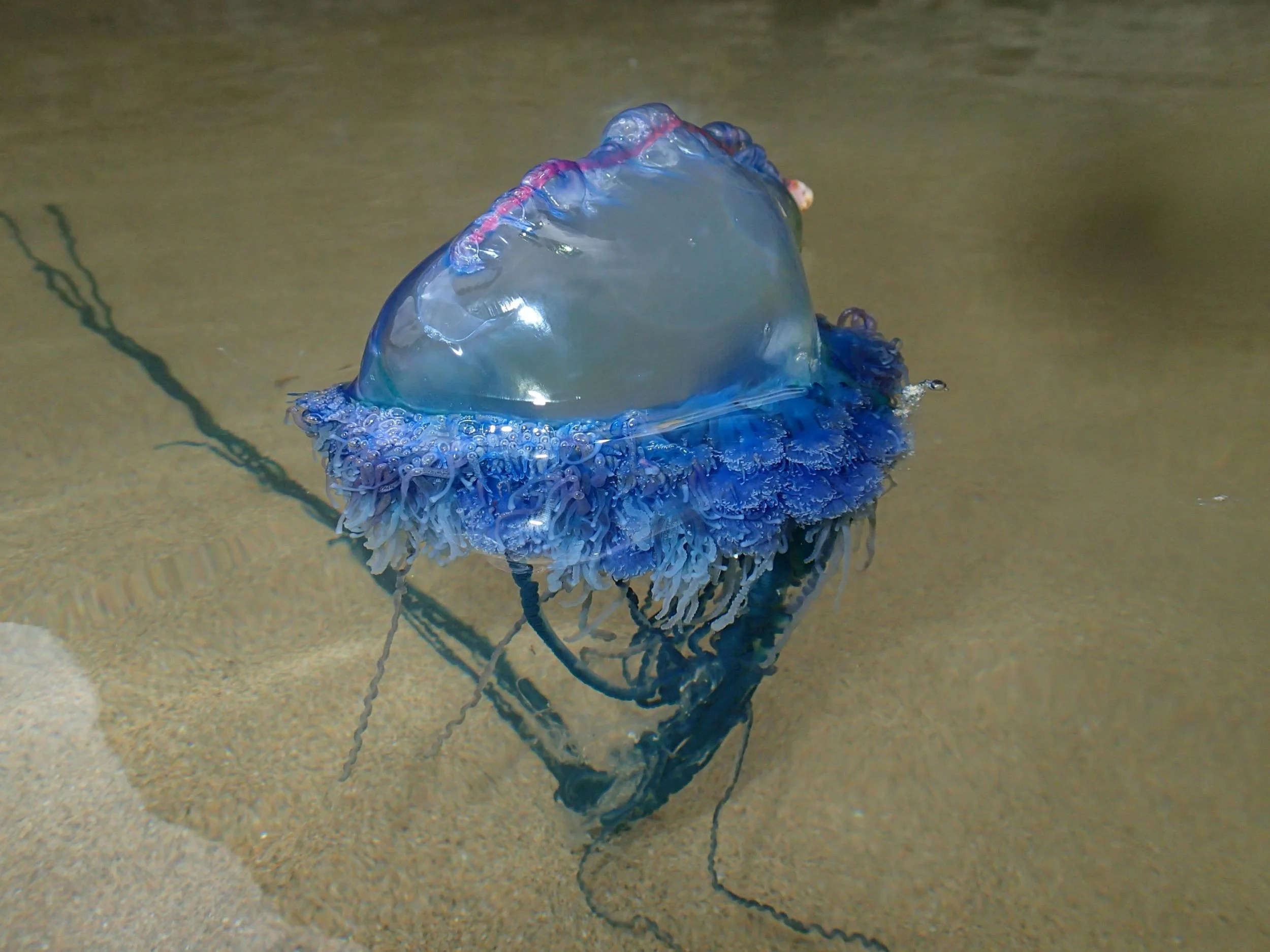 Cornish Beach On Alert After Terrifying Portuguese Man O