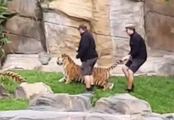 tiger 2 - Handlers at Australian wildlife park filmed hitting tiger on head and pulling its tail