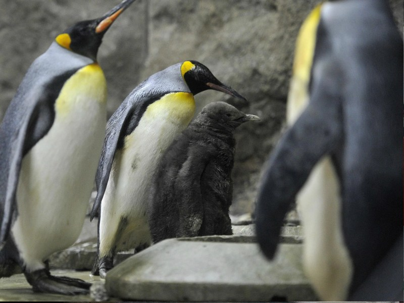 North America weather  Canadian zoo moves penguins indoors because     Calgary Zoo in Alberta  Canada  has moved its king penguins indoors