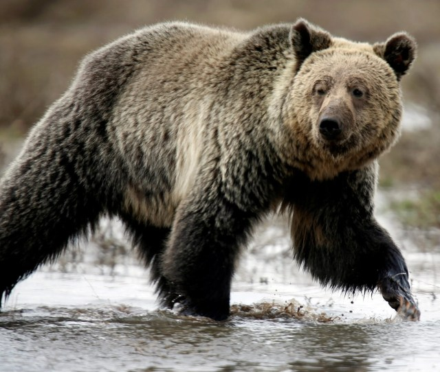 A Grizzly Bear Roams Through The Hayden Valley In Yellowstone National Park Wyoming