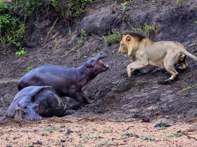 do hippos eat people