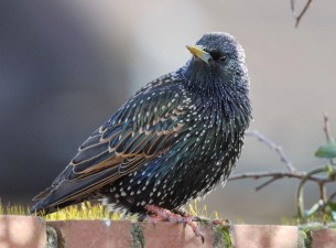 Since 1979, the average number of starlings seen in the Big Garden Birdwatch has fallen by four-fifths