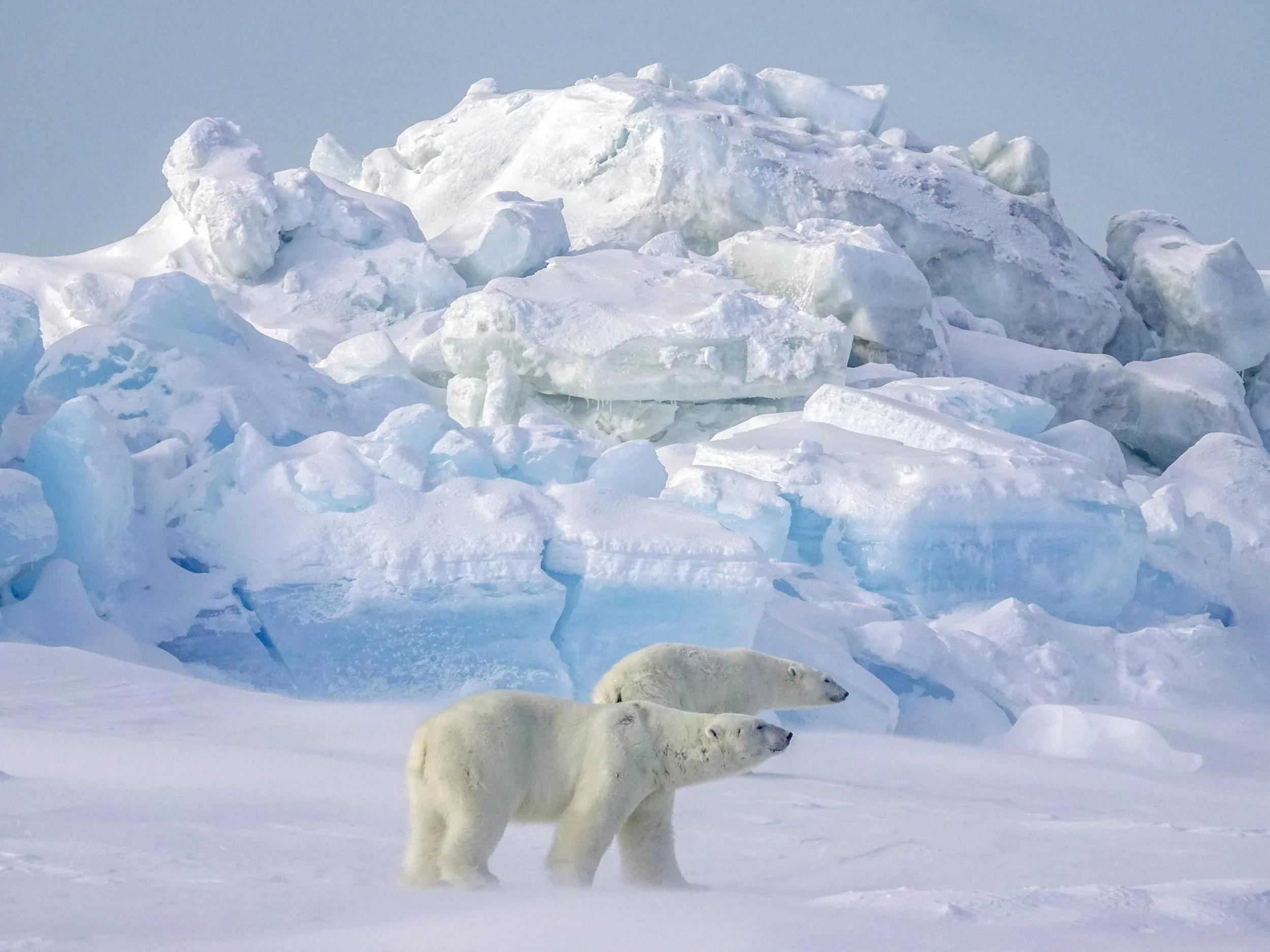 Man Shot Polar Bear And Left Its Body Outside His Home