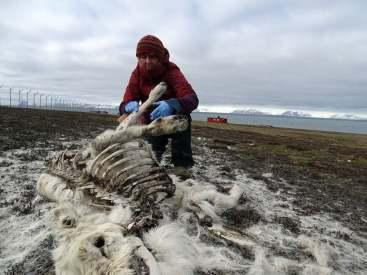 Ecologist Ashild Onvik Pedersen examines a reindeer cadaver Svalbard, where more than 200 have been found dead