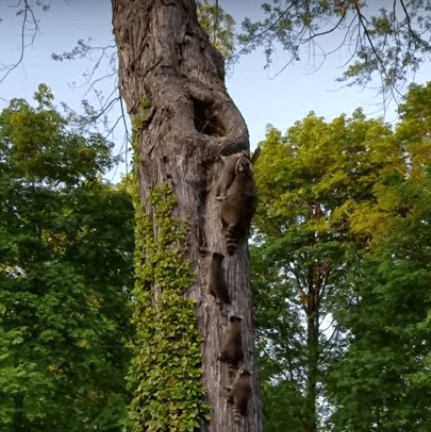 Mom Raccoon Struggles To Get Her Babies Into Tree Nest ...