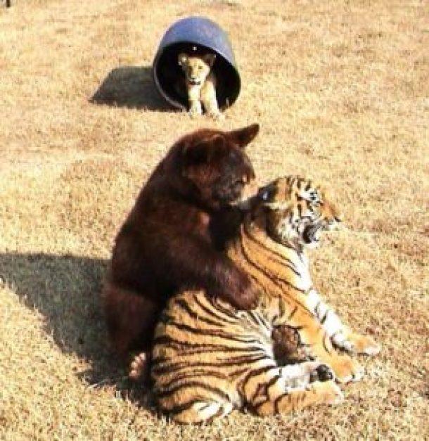 baloo leo and shere khan as cubs