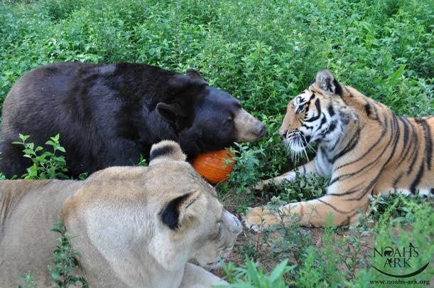 bear lion tiger