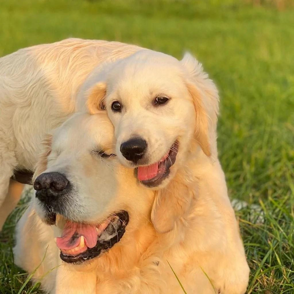 Golden Retriever Who Recently Went Blind Gets Big Help