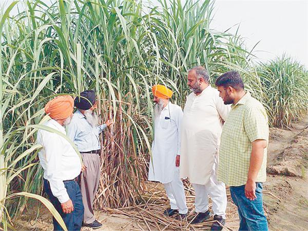 sugarcane farming