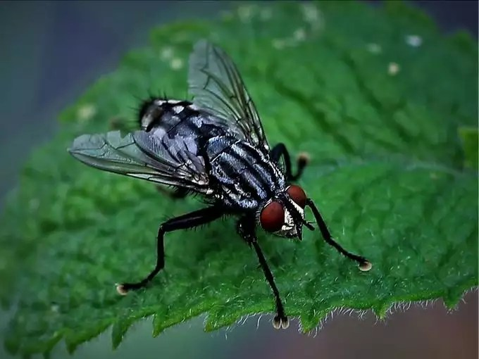 -मक्खियां-
