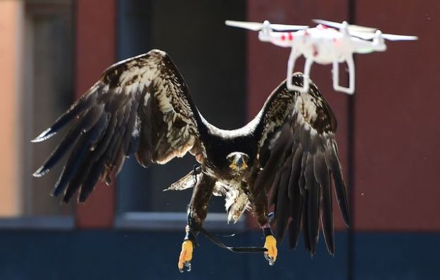 Demonstration of a drone capture by an eagle, September 12, 2016 in Ossendrecht, the Netherlands