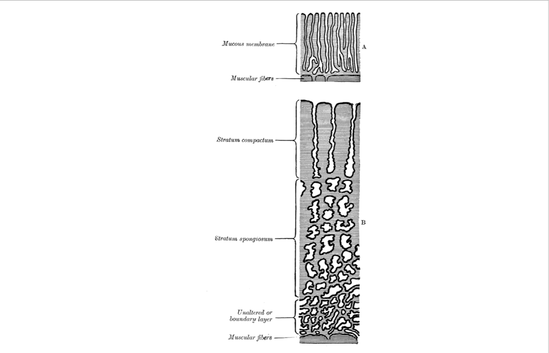 Diagram Of Fetu In Uteru