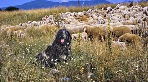 Il Bergamasco in formato pastore