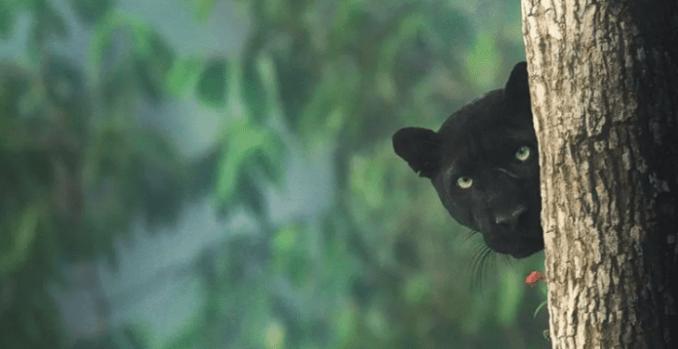 La pantera negra de la India que hipnotiza a todos en las redes