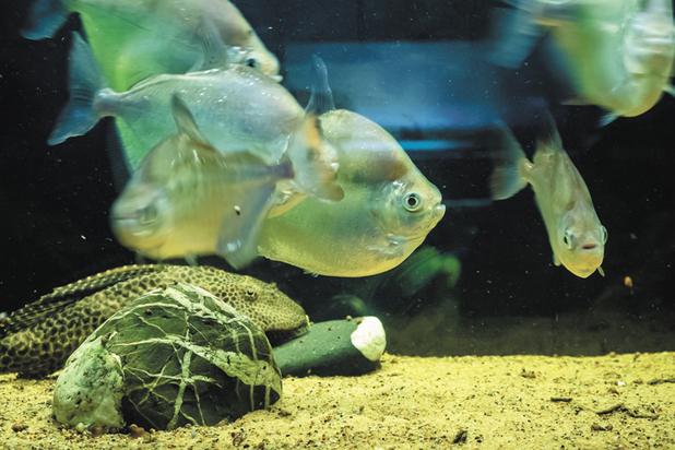 Самой сообразительной рыбой ученые назвали карася