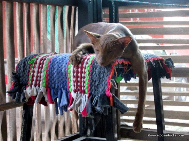 Import cat to Siem Reap