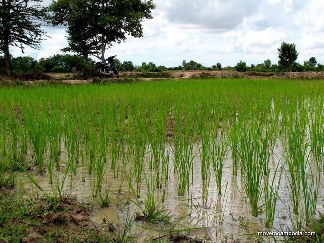Cambodian rice paddy