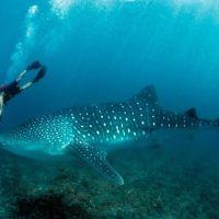Australia: Whale shark wonders on Ningaloo Reef; Ianthe Butt; Nat Geo Traveller