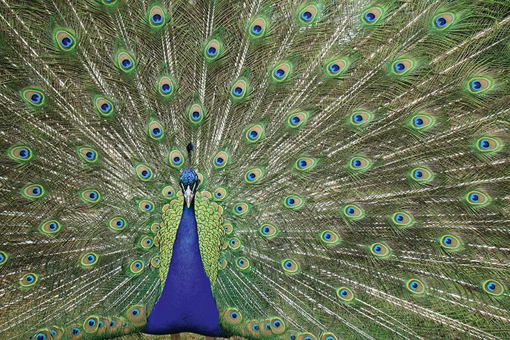 Hutson_BR_peacock