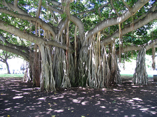 Banyan tree\'s aerial root system