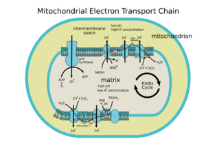 Cytochrome c  New World Encyclopedia