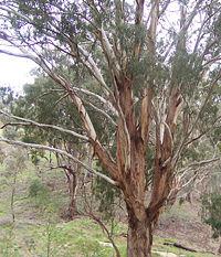 Eucalyptus New World Encyclopedia
