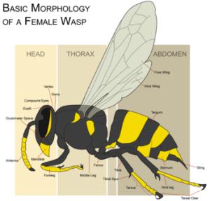 Wasp  New World Encyclopedia