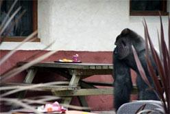 gorilla bokito uitgedaagd door