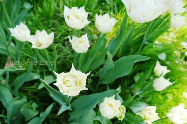 Фото тюльпан 16306 | Огородники