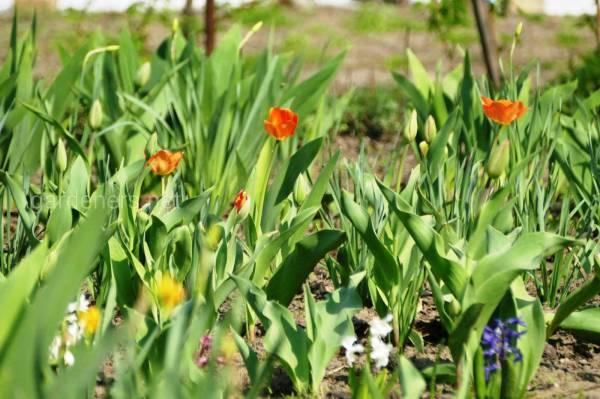 Фото тюльпан 18302 | Огородники