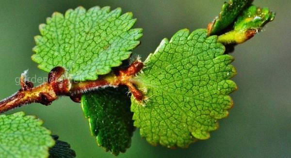 Карликовая береза: особенности выращивания тундровой ...