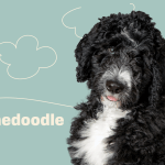 Bernedoodle Dog Breed Information Characteristics Daily Paws