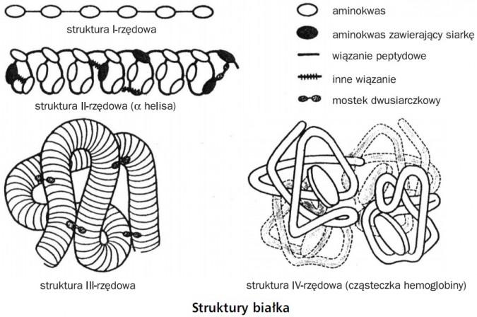 Struktury białka. Struktura I-rzędowa, struktura II-rzędowa (α helisa), struktura III-rzędowa, struktura IV-rzędowa (cząsteczka hemoglobiny). Aminokwas, aminokwas zawierający siarkę, wiązanie peptydowe, inne wiązanie, mostek dwusiarczkowy.